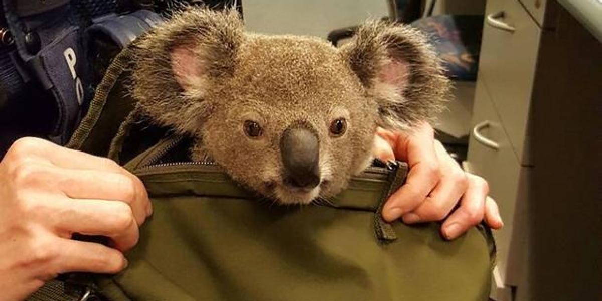 Arrestan a una mujer que lleva una cría de koala en la mochila