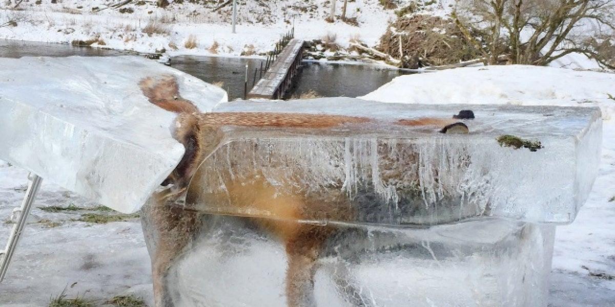 Zorro atrapado en el hielo