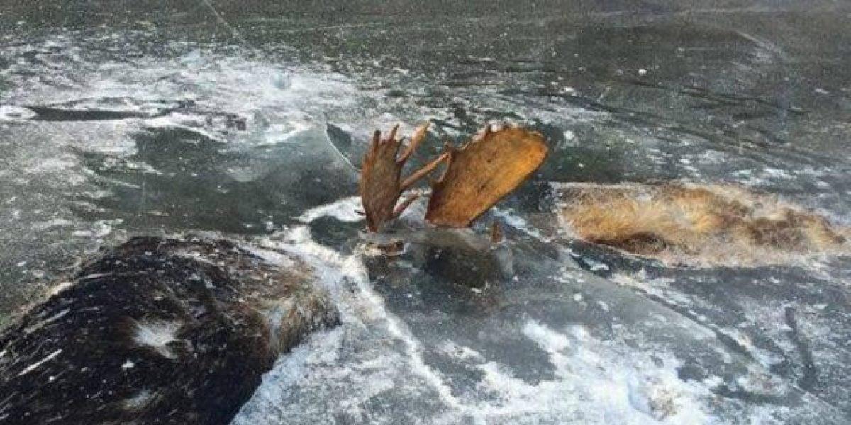 Una pareja de alces queda atrapa en el río helado
