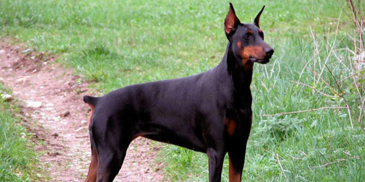 Un perro al que le han cortado el rabo por cuestiones estéticas