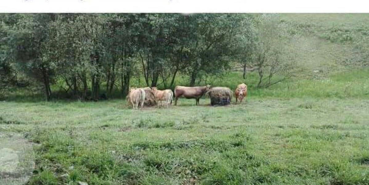 """Anuncio: """"se regalan vacas"""""""