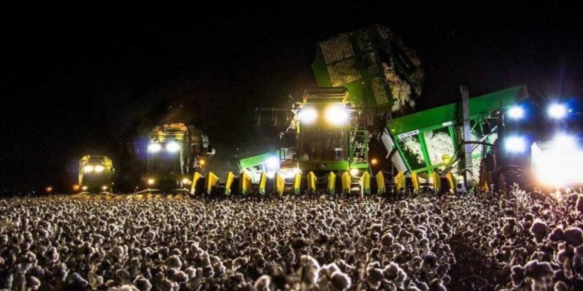 El campo de algodón que se confunde con un festival de música