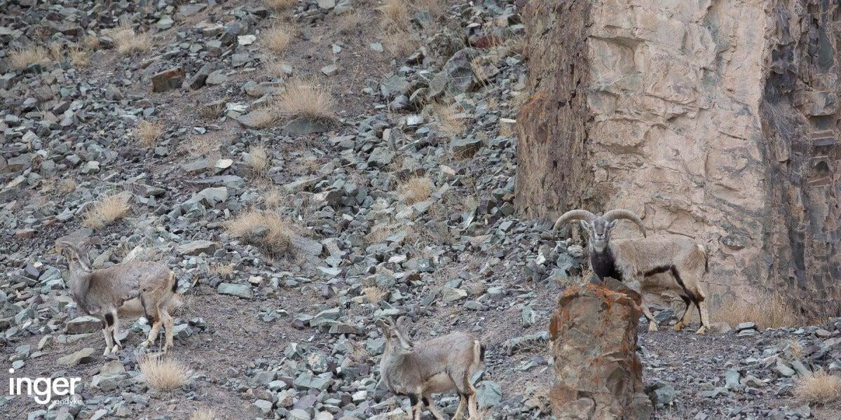 Leopardo de las nieves camuflado