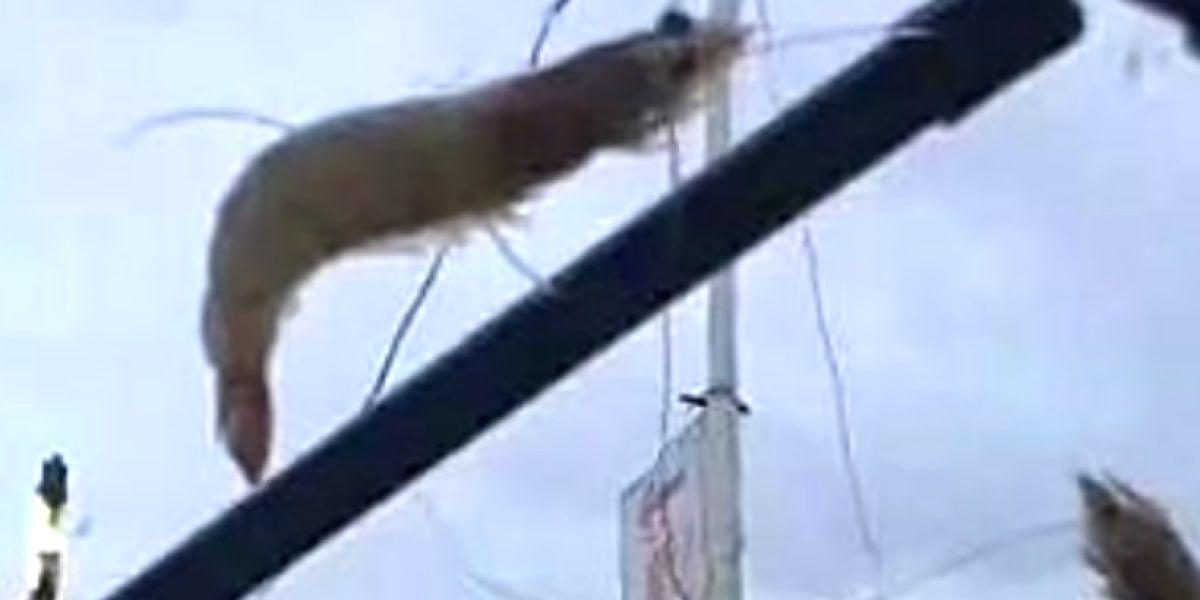 Un langostino en el parabrisas de un coche