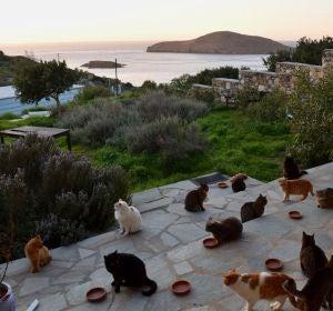 Gatos en la isla de Siros