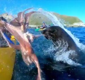 Una foca lanzándole un pulpo a un piragüista