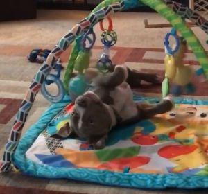 El vídeo de un Pit Bull actuando como un bebé cuando nadie lo mira que ha enamorado a la red