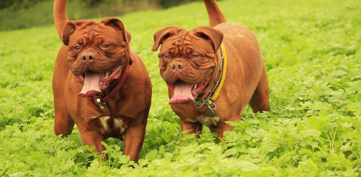 Dos dogos de Burdeos
