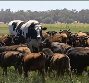 Un enorme novillo de Australia evita pasar por el matadero gracias a su peculiar tamaño