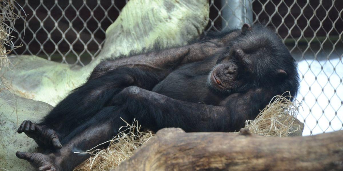 Foto de archivo de un chimpancé