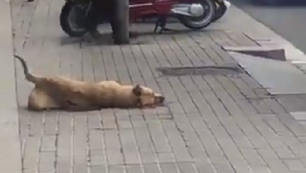 Sota, la perra que ha muerto por un disparo de la Guardia Urbana