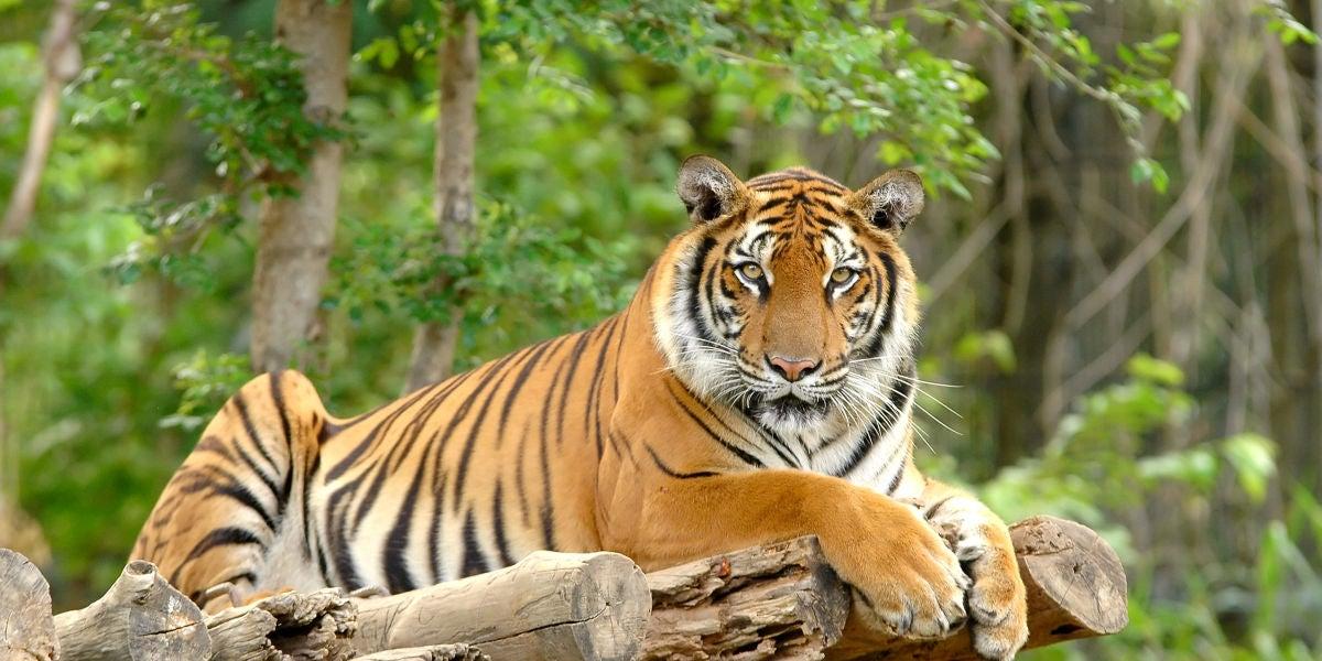 Un tigre en el zoo