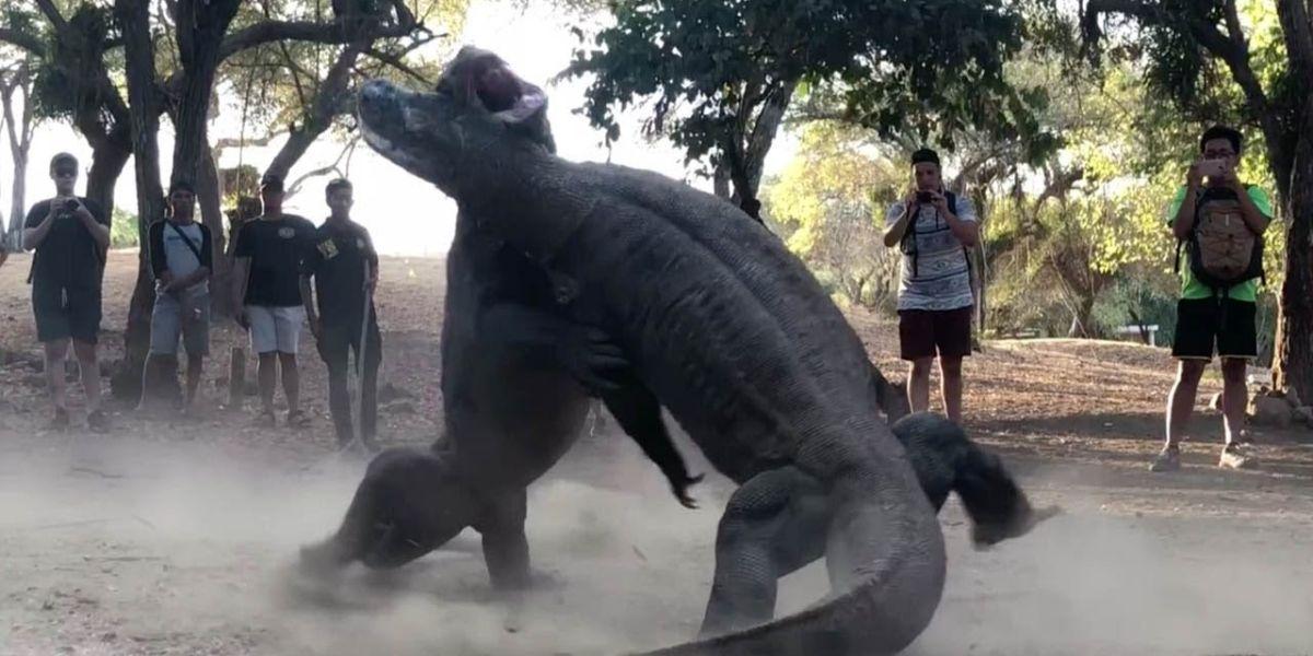Dragones de Komodo