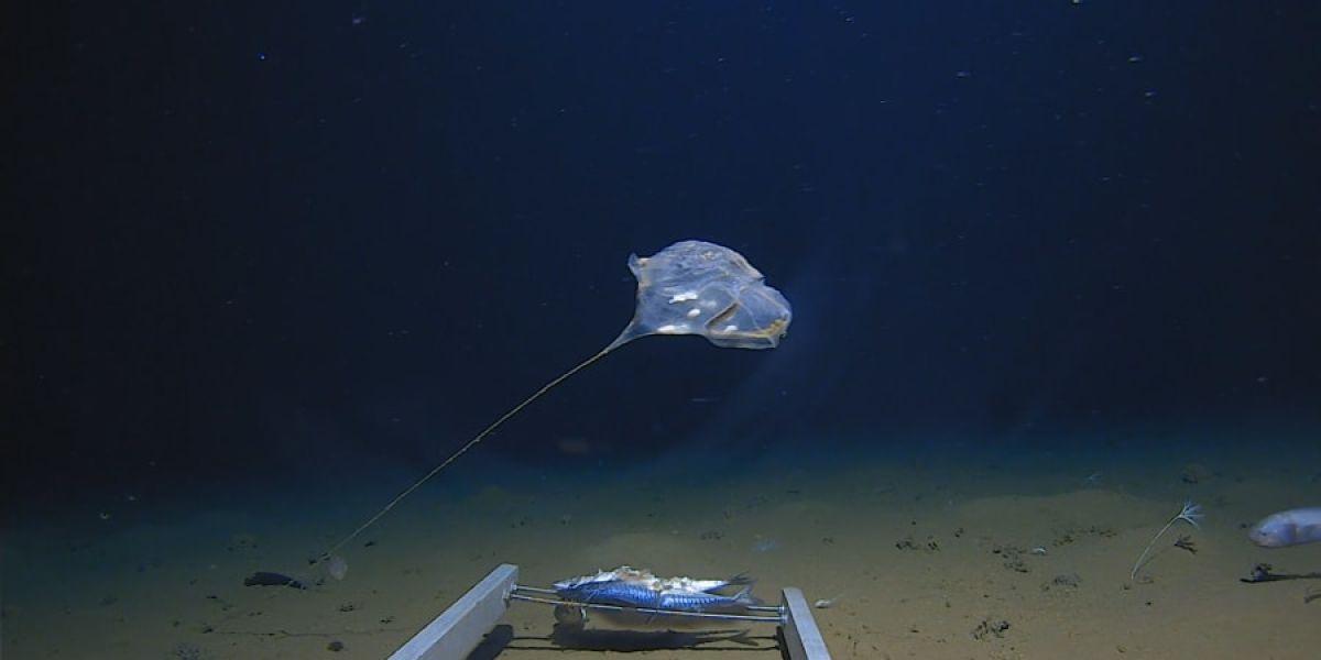 """Hallan una nueva especie de medusa:  """"no se parece a nada visto antes"""""""