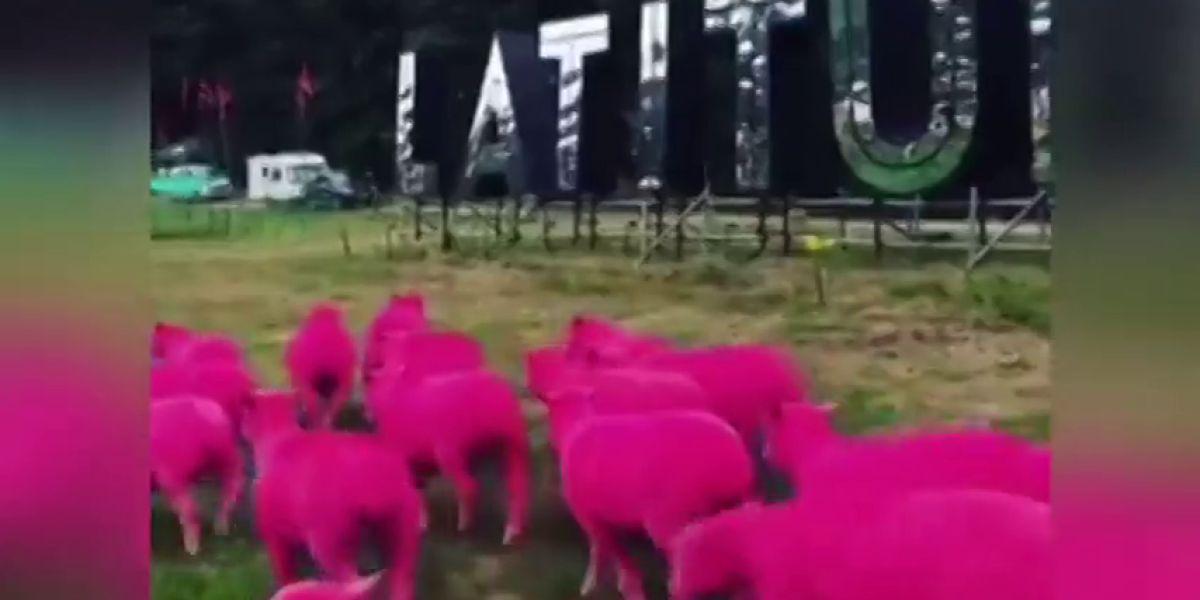 ovejas teñidas de rosa