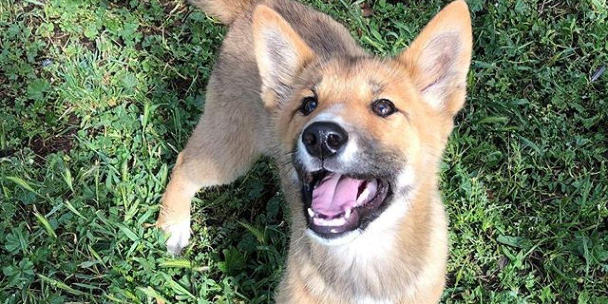Wandi en la reserva de dingos