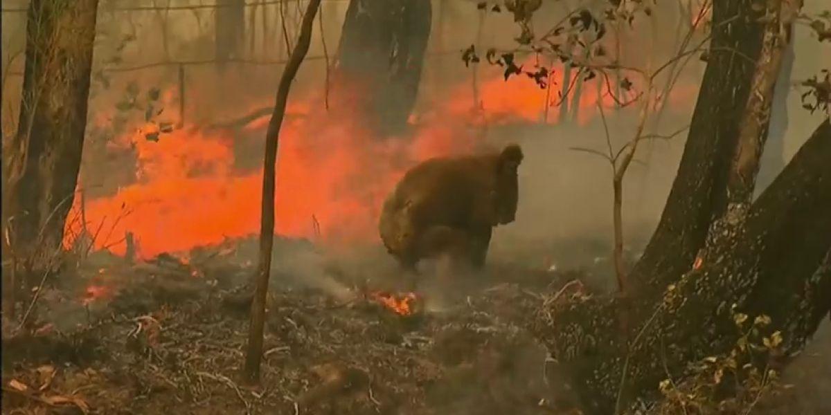 El estremecedor rescate a un koala quemado en los incendios de Australia