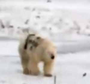Oso polar pintado al costado