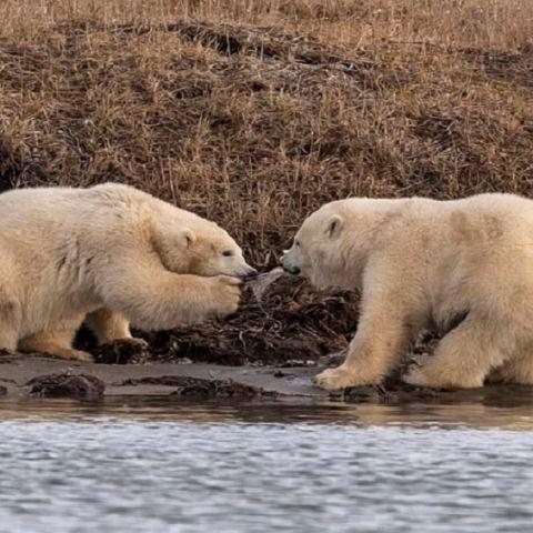 Dos oseznos pelean por un trozo de plástico