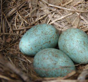 Huevos azules de gallina araucana