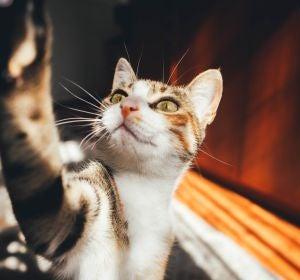 Los gatos no comparten un 'idioma' común, su maullido es único