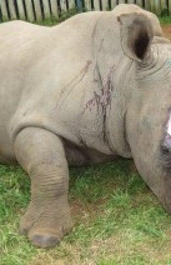 Hope, la hembra rinoceronte víctima de los cazadores furtivos