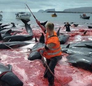 Caza de delfines en Japón