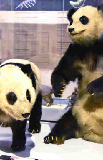 El oso panda Chu-Lin en la exposicióh