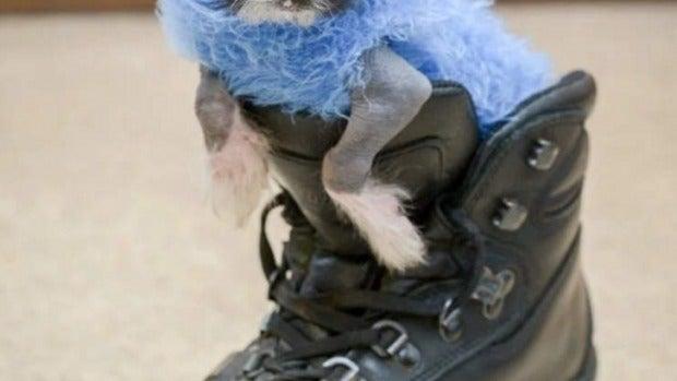 Arthur, el perrito que se viste con calcetines