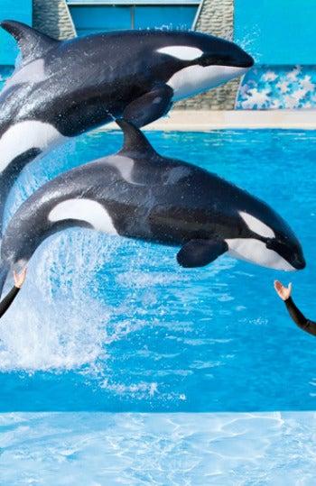 Orcas de SeaWorld en uno de sus espectáculos