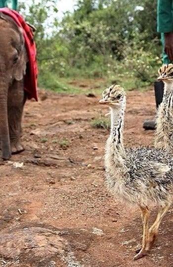 Jotto y Pea, un elefante y un avestruz que se hicieron inesperables