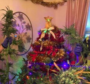 El árbol de marihuana encontrado por la Policía