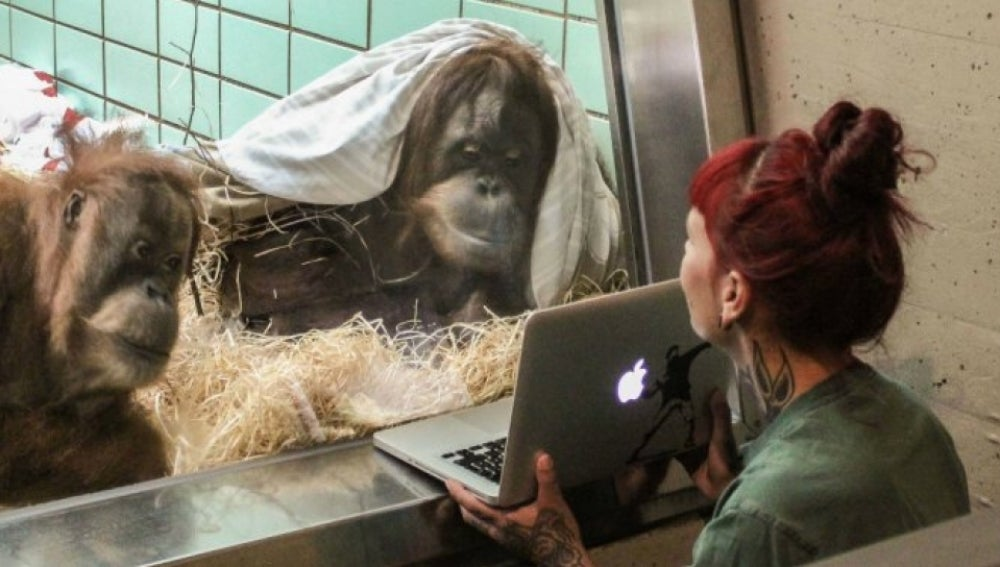 Samboja, la orangutana que utiliza Tinder