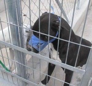 Dos de los perros sacrificados por matar a un hombre en Alicante
