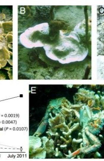 Corales afectados