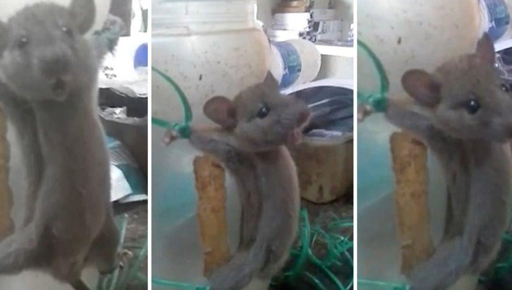 Tortura a un ratón por robarle comida