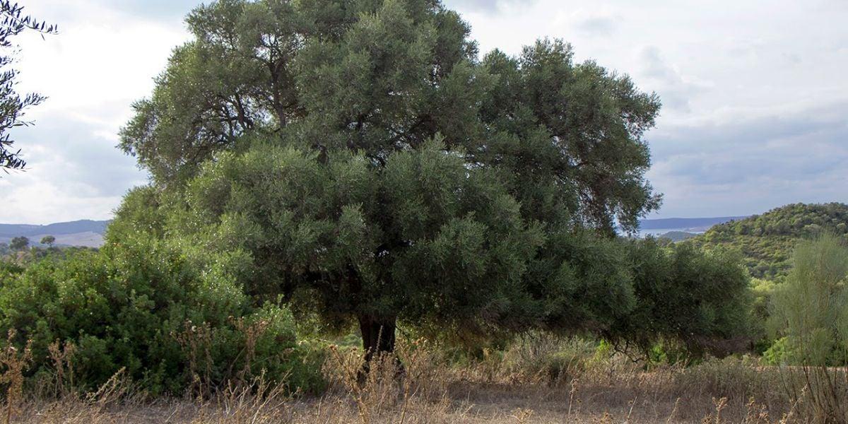 El olivo silvestre prefiere el polen lejano para su reproduccion