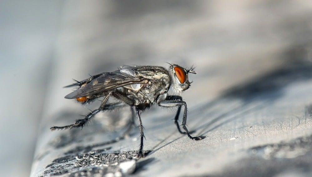 Las moscas de la fruta solo modifican el sabor de tu bebida si son hembras