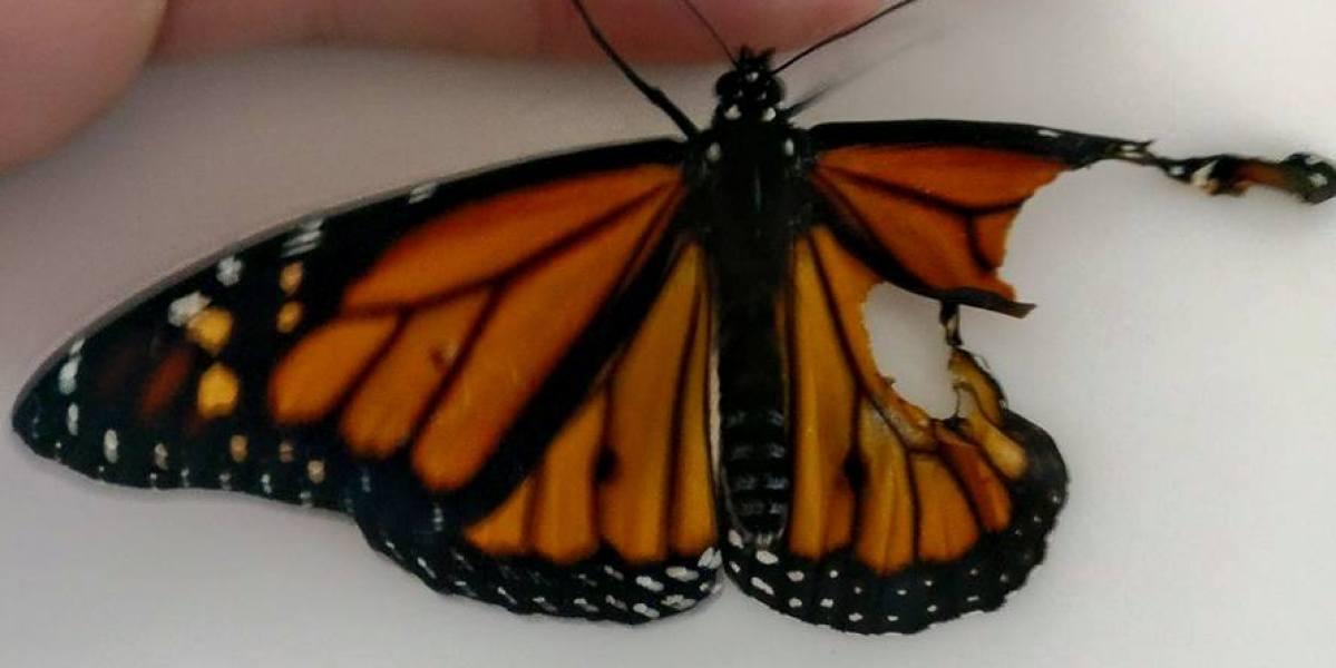 Una costurera reconstruye el ala rota de una mariposa que se encontró en el jardín