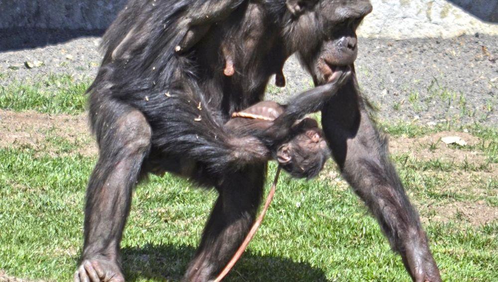 Nacimiento de chimpancé en el Bioparc de Valencia