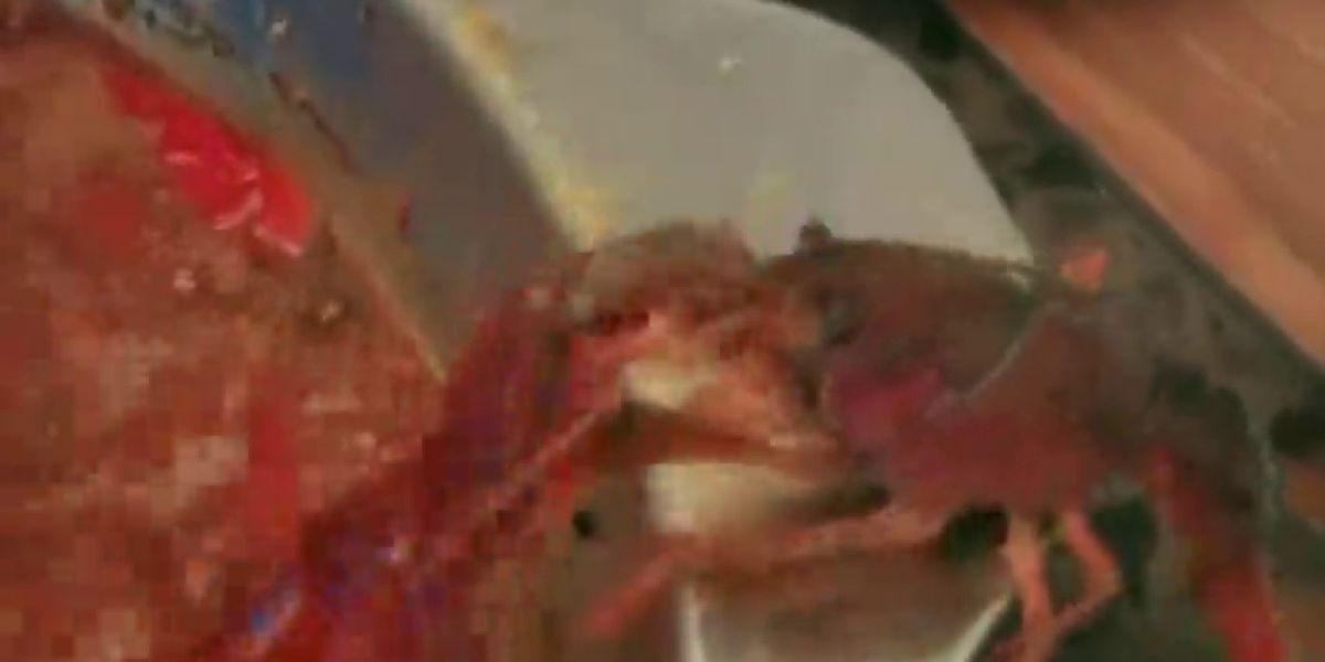 Un cangrejo se arranca su pinza para sobrevivir a una olla hirviendo