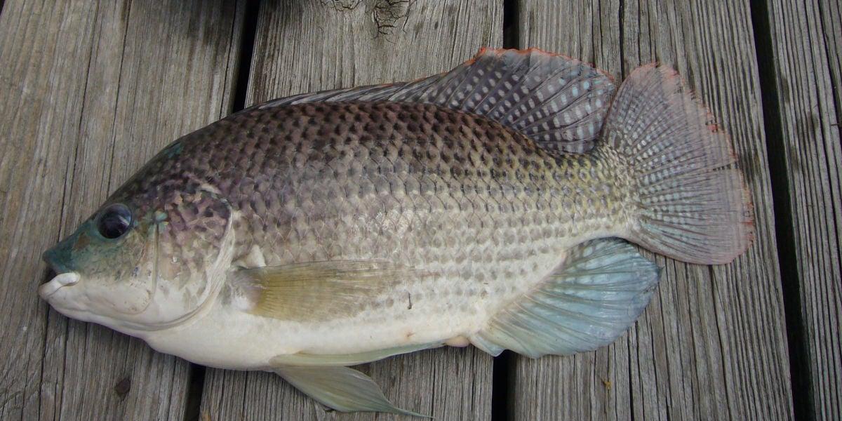 Tilapia, el pez utilizado en la reconstrucción