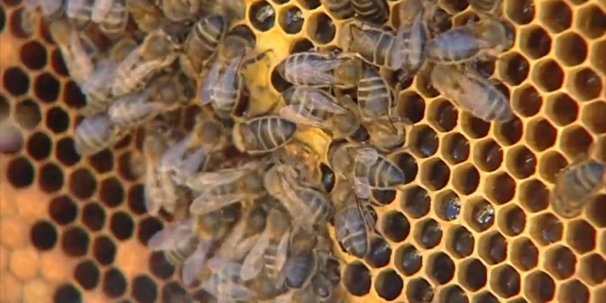 Un matrimonio octogenario, en estado grave tras recibir más de 2.000 picaduras de abejas en Ávila