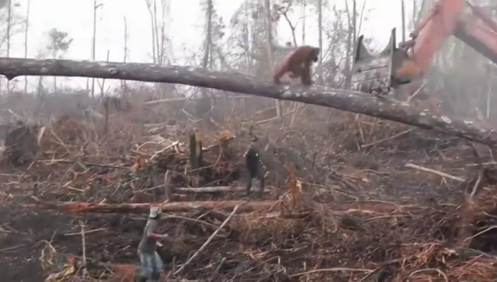 Un orangután ataca a una excavadora ilegal que amenaza su hábitat en la isla de Borneo</p>