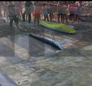 El tiburón retirado de la playa de Mallorca