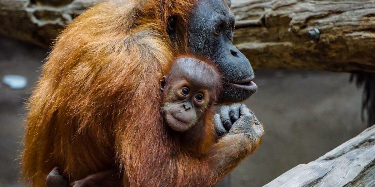 Los mejores lugares del mundo para ver orangutanes