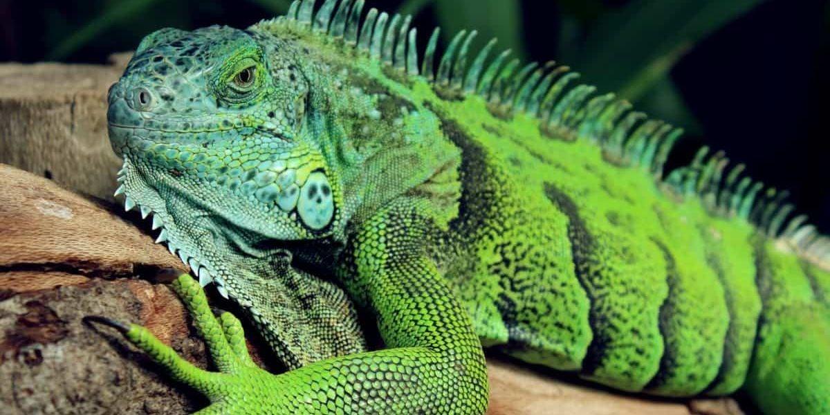 Foto de archivo de una iguana