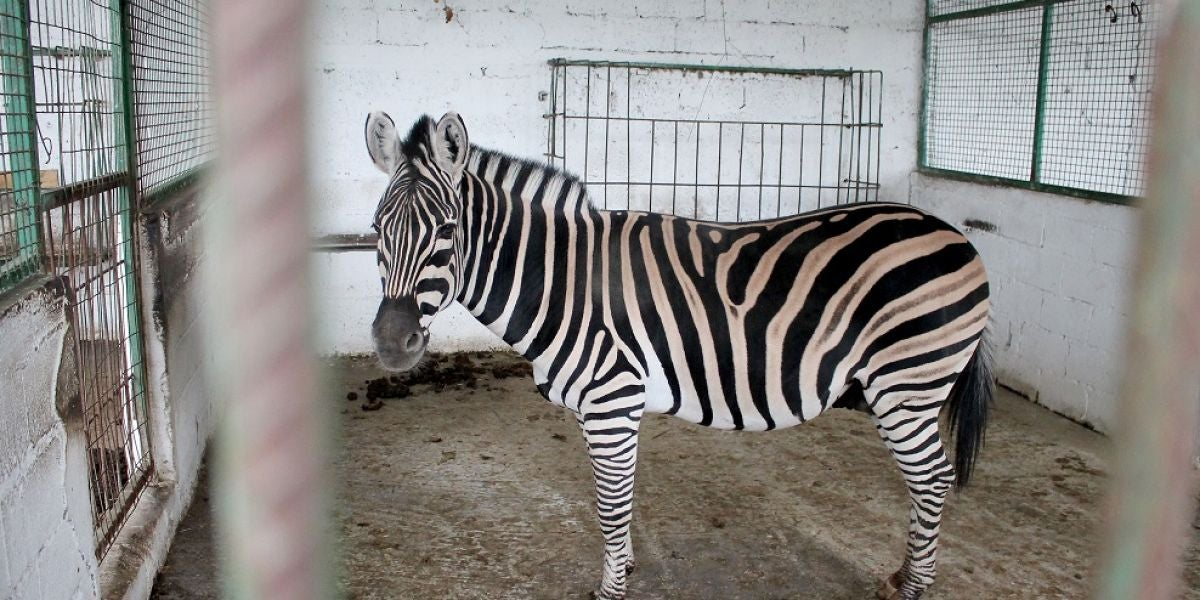 Imagen de la cebra rescatada de un zoo en la localidad albanesa de Fier