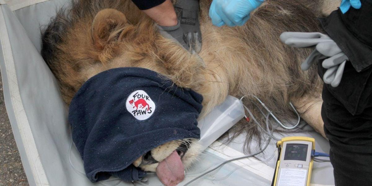 Imagen del león rescatado de un zoológico de Albania