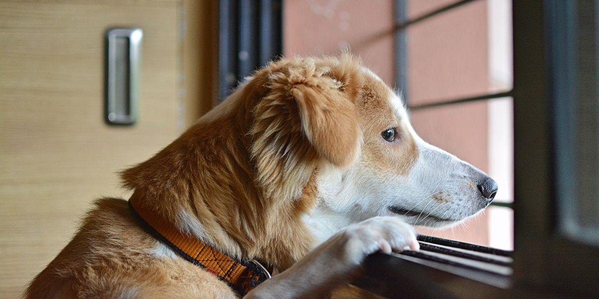 Un perro mira por la ventana